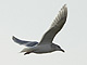 Glaucous_winged_Gull