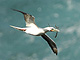 Red-footed_Booby