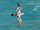 Wedge-tailed_Shearwater