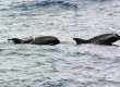 Melon-Headed Whales