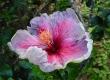 Hibiscus 01a.jpg