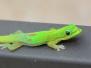 Gecko & Lizard