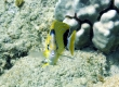 Bluestriped Butterflyfish, Kipakapu - Endemic