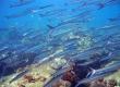 Heller's Barracuda, Kawelea