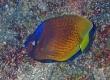 Blacklip Butterflyfish, Lauhau