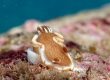 White-margin Nudibranch