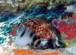Reticulated Cowrie