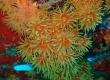 Orange Cup Coral, Tubastraea