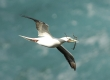 'A (Red-footed Booby)