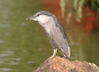 'Auku'u (Black-crowned Night Heron)