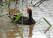 'Alae 'ula (Hawaiian Gallinule)