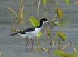 'Ae'o (Hawaiian stilt)