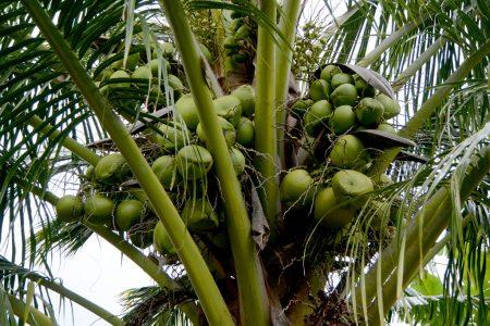 04_Coconut