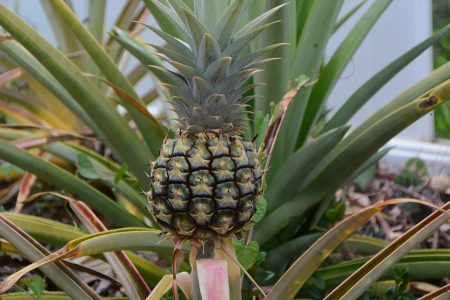 05_Pineapple