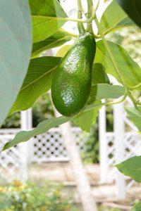 08_Avocado