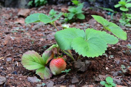 11_Strawberry